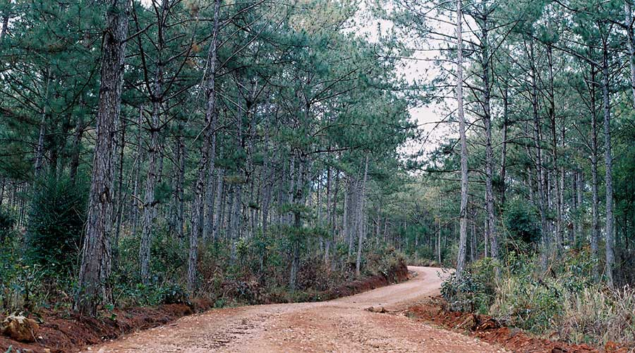 Pine forest Dalat